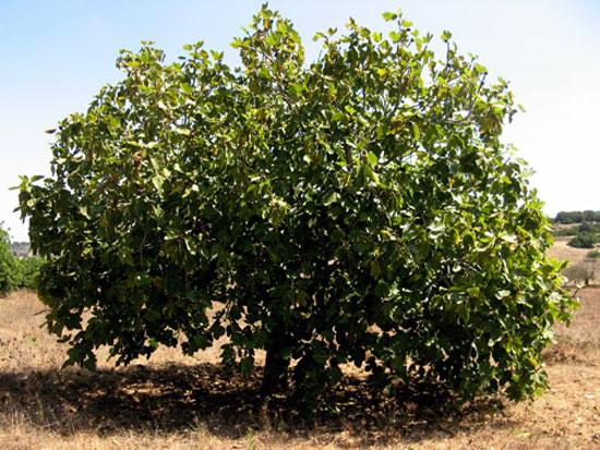 как выглядит инжир фото дерево